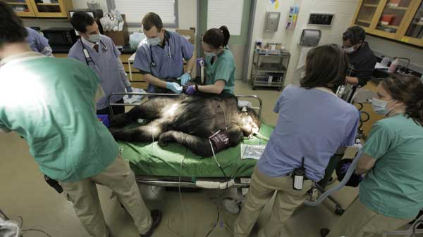 "<div class=""meta image-caption""><div class=""origin-logo origin-image ""><span></span></div><span class=""caption-text"">Members of the Veterinary Services Department within the Chicago Zoological Society examine Binti Jua, a 22-year-old female western lowland gorilla, as the team performs physicals on two of the Brookfield Zoo's six gorillas, Thursday, March 10, 2011, in Brookfield, Ill. During the physicals performed every couple of years, the team draws blood to test cholesterol, metabolism, kidney and liver functions, performs dental and eye exams, takes radiographs of the chest and abdomen, and the team also does a cardiac ultrasound.  ((AP Photo/M. Spencer Green))</span></div>"